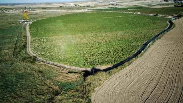 Cultivo ilegal de marihuana en la provincia de Toledo. Fotos: Guardia Civil