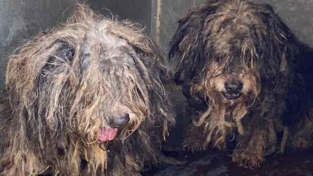 Unos perros encontrados en condiciones lamentables en Málaga.