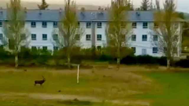 Un momento del vídeo de un ciervo atravesando el patrio del IES Valverde de Lucerna en Puebla de Sanabria
