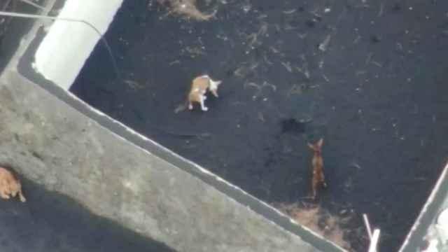 Perros atrapados por la colada en La Palma