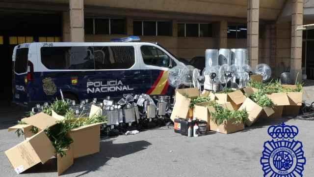 Plantas de marihuana intervenidas por la Policía Nacional en Los Villares