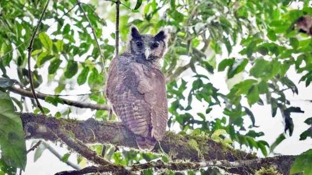 Imagen del búho real de Shelley tomada en Ghana.