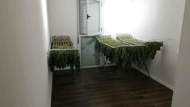 Cuatro detenidos y 31 kilos de marihuana incautados en tres domicilios de Tomelloso