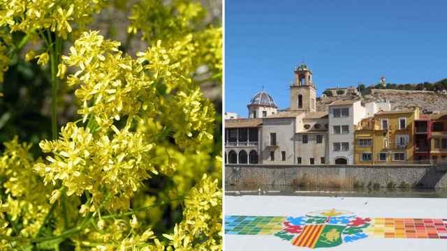 A la izquierda la imagen de un ejemplar de la hierba pastel; a la derecha, el pueblo de Orihuela.