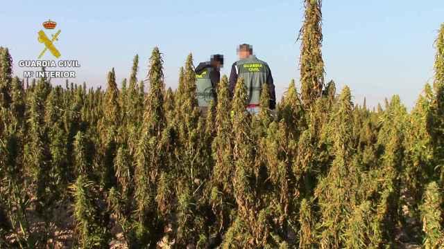 La Guardia Civil descubre en la provincia de Toledo otra gigantesca plantación de marihuana