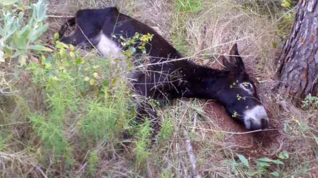 Uno de los animales fallecidos en extrañas circunstancias en el Desert de les Palmes.